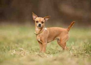 are chihuahua hypoallergenic a review of the best 70 hypoallergenic dogs that don t 7320