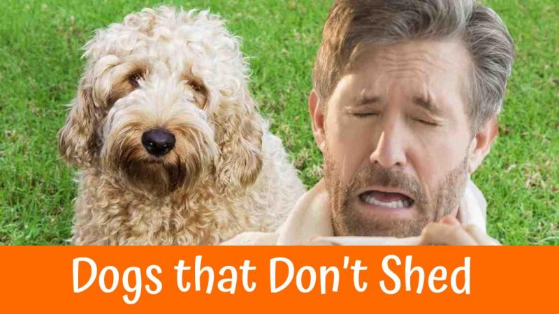 A Review of the Best 70 Hypoallergenic Dogs that Don't ...