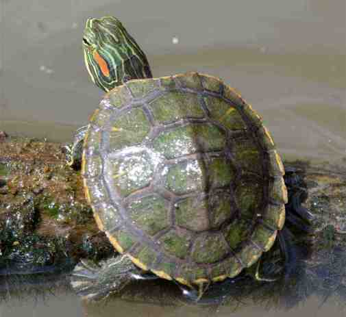 Turtles That Stay Small: How To Take Care And Choose The ...