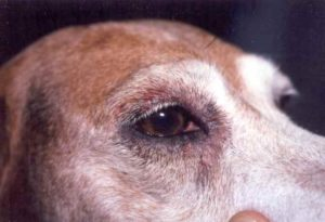 Dog with atopic dermatitis