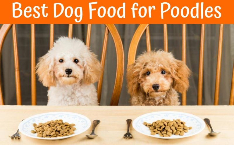 Best Dog Food for Poodles