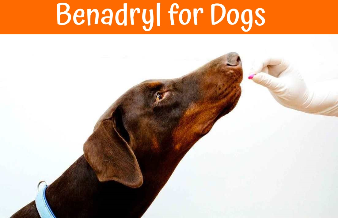 Benadryl For Dogs Dosage Benefits And Side Effects Of
