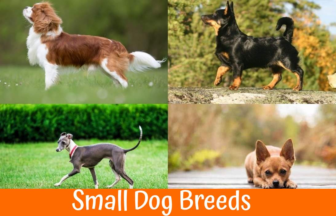 Best Dog Food For Labs >> How to Find the Best Small Dog Breeds that Will Fit the Most in Your Family?