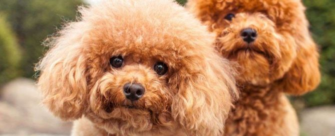 What Are The Calmest Small Dog Breeds