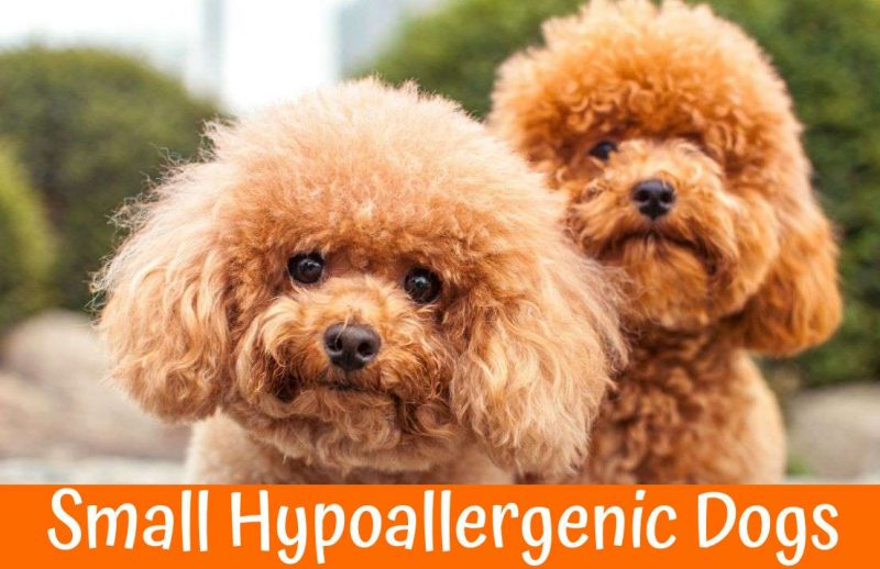 guide to small hypoallergenic dogs in 2018 us bones