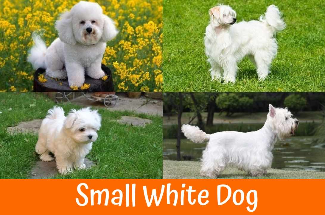 Small Dog Breeds For People Whith