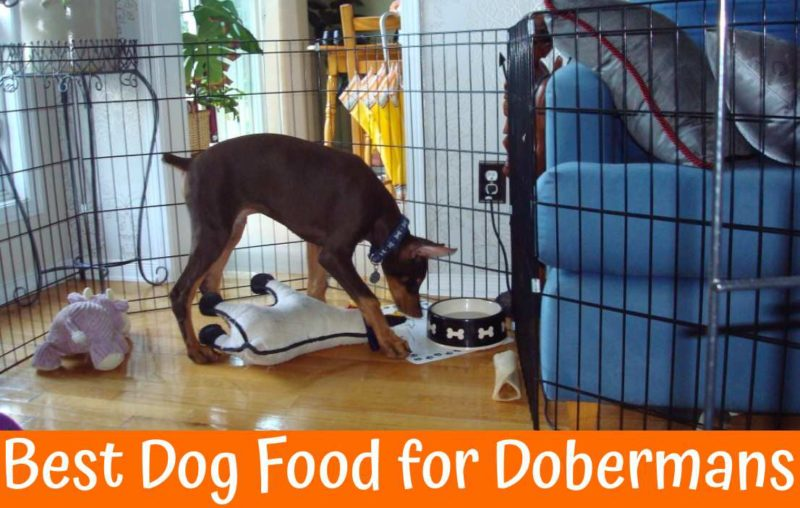 A Guide On Best Dog Food For Dobermans With Reviews Us Bones