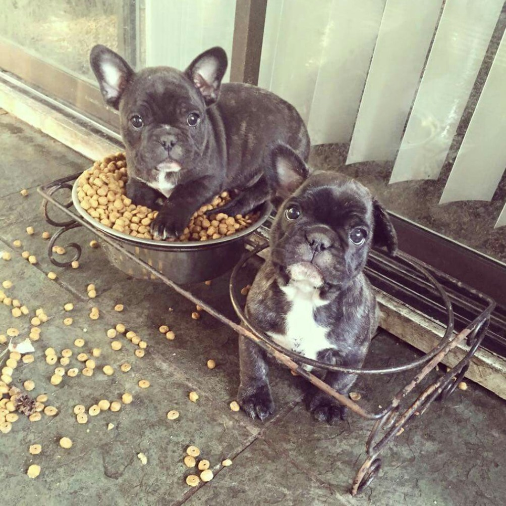 Best Dog Food For French Bulldog Puppies