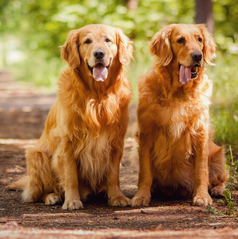 The Best Dog Food For Golden Retriever Review Us Bones