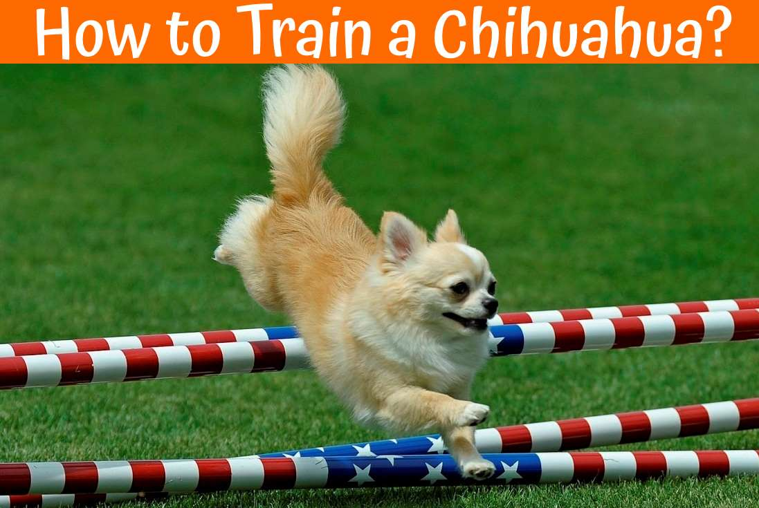 How to Train a Chihuahua