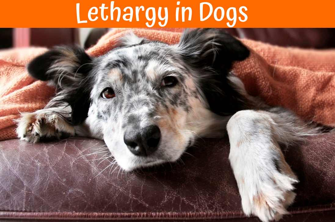 Lethargy in Dogs