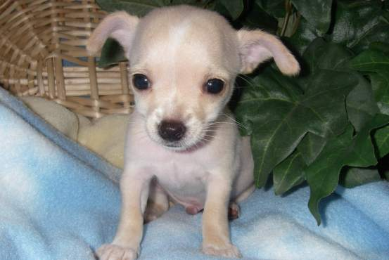 How To Choose The Best Chihuahua Mix Dog