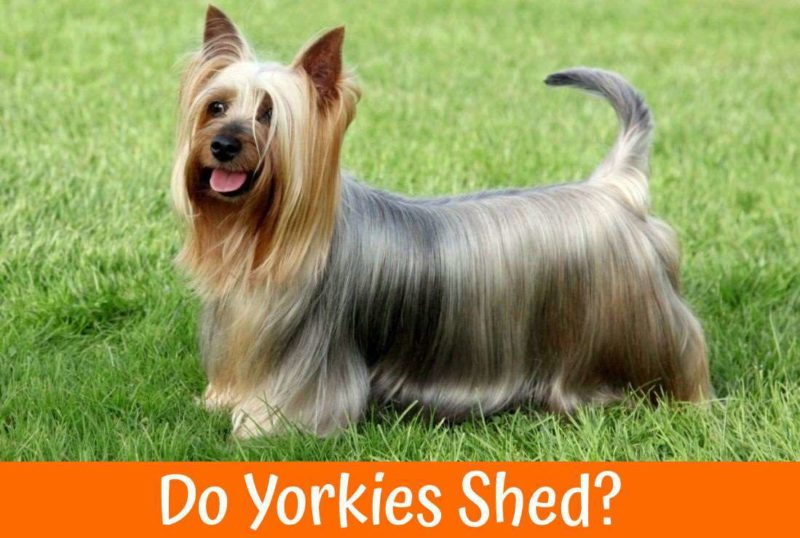 Do Yorkies Shed Us Bones