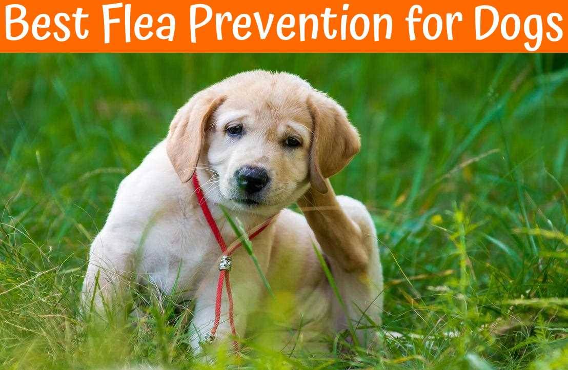 Best Flea Prevention for Dogs