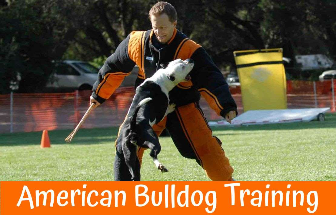 American Bulldog Training
